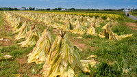 Tobacco Sun Drying